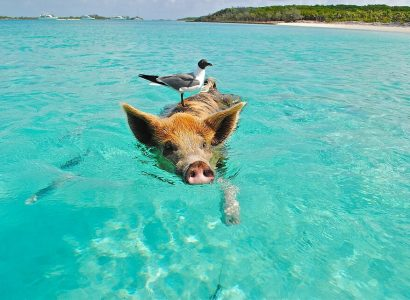 Bahamas' swimming pigs found dead 'after tourists give them rum and beer' | Secret Flying
